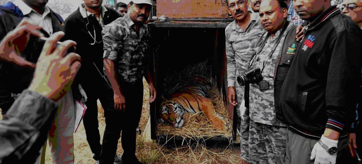 कान्हा का घोरेला बाघ बाड़ा दे चुका है अन्य टाइगर रिजर्व को 7 बाघ